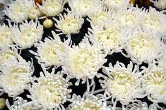 Härliga nya vita blommor, kronblad, naturlig bakgrund, trädgårds- skönhet Arkivfoton