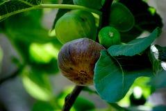 Härliga och aptitretande fikonträd arkivfoto