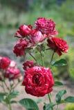 Härliga och delikata blommor Royaltyfria Foton