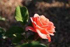 Härliga och delikata blommor Royaltyfria Bilder
