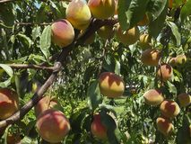 Härliga och doftande persikor på filialerna royaltyfri bild