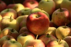 Härliga och smakliga organiska äpplen Arkivbilder