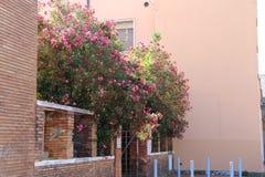 Härliga oleander blommar fotografering för bildbyråer