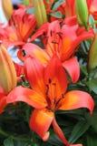 Härliga orange liljor i parkerar royaltyfri foto