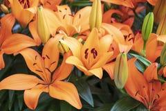 Härliga orange liljor i parkerar royaltyfri bild