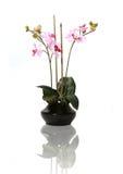 härliga orchids Royaltyfri Bild