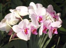 härliga orchids Arkivbild