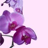 Härliga orkidér på den rosa bakgrunden Royaltyfri Fotografi