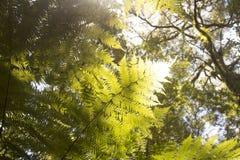Härliga ormbunkar i skogen och solskenet trevliga Australien Arkivbild