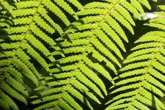 Härliga ormbunkar i skogen och solskenet trevliga Australien Royaltyfria Foton