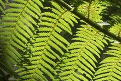 Härliga ormbunkar i skogen och solskenet trevliga Australien Royaltyfria Bilder