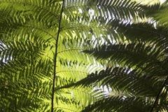 Härliga ormbunkar i skogen och solskenet trevliga Australien Arkivfoto