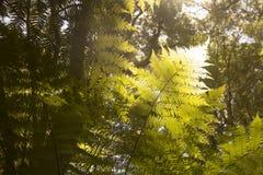 Härliga ormbunkar i skogen och solskenet trevliga Australien Fotografering för Bildbyråer