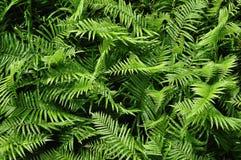 Härliga ormbunkesidor gör grön naturlig blom- ormbunkebackgro för lövverk royaltyfri fotografi
