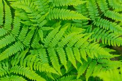 Härliga ormbunkesidor gör grön naturlig blom- ormbunkebakgrund för lövverk i solljus Växtormbunkebakgrund Larver är larver äter s royaltyfria foton