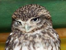 Härliga owls öga fotografering för bildbyråer