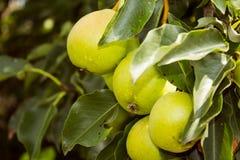 Härliga päron på en filial Royaltyfri Fotografi