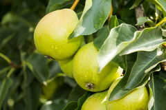 Härliga päron på en filial Arkivbild
