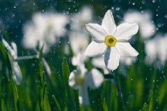 Härliga påskliljor i regnet Påskliljor och solsken arkivfoton