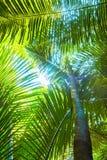 Härliga palmblad av trädet i solljus Arkivbilder