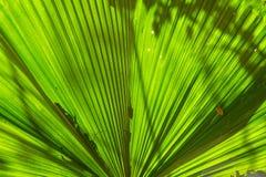 Härliga palmblad av trädet i solljus Abstrakt tropiskt gömma i handflatan Royaltyfria Foton