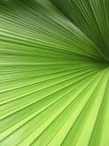 Härliga palmblad för Closeup av trädet i solljus Royaltyfri Bild