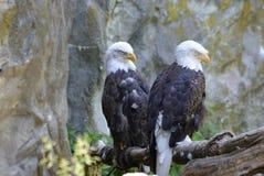 Härliga par av att sova skalliga Eagles med deras ögon stängde sig royaltyfria foton