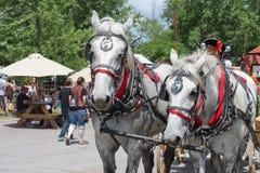 Härliga par av matchade vita hästar i nätt sele med massor av rött och skygglappar och vagn för klockahandtag på Renassiance Fest royaltyfria bilder