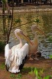 Härliga par av pelikan. Arkivfoto