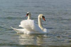 Härliga par av vuxna vita svanar dämpar laten Cygnusoloren är en fågel av andfamiljen som svävar på vattnet Royaltyfri Foto