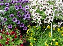 Härliga petunior i hängande blomkrukor arkivbild