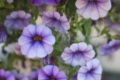 Härliga petunior som blommar i en trädgård Arkivfoto
