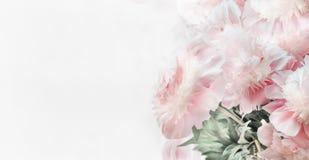 Härliga pioner för pastellfärgade rosa färger blommar på vit bakgrund, främre sikt Blom- gräns eller orienterings- eller hälsning Royaltyfria Foton