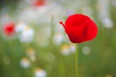 Härliga Poppy Flower Arkivfoto