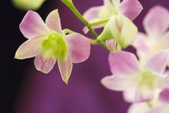 Härliga purpura orchids Arkivfoton