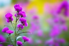 Härliga purpurfärgade aster i färgrik suddig bakgrund fotografering för bildbyråer