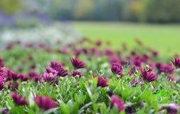 Härliga purpurfärgade blommor av dimorphotekaen Arkivfoton