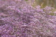 Härliga purpurfärgade blommor av havslavendel royaltyfri bild