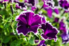 Härliga purpurfärgade blommor med vit marginal och metallisk effekt royaltyfri foto