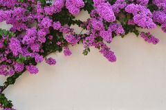 Härliga purpurfärgade bougainvilleablommor Arkivbild