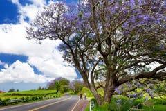 Härliga purpurfärgade jakarandaträd som blommar längs vägarna av den Maui ön, Hawaii Arkivfoto