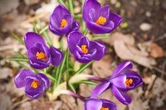 Härliga purpurfärgade krokusblommor som blommar i en tidig vårdag i trädgården arkivbilder