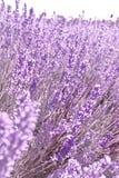 Härliga purpurfärgade lavendelblommor royaltyfria bilder