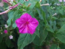Härliga purpurfärgade petuniablommor Royaltyfri Bild