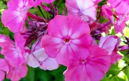 Härliga purpurfärgade petunior Arkivfoto