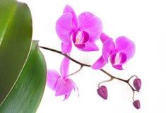 Härliga purpurfärgade Phalaenopsisorkidéblommor och gröna sidor som isoleras på vit bakgrund royaltyfri fotografi