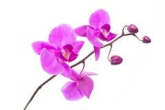 Härliga purpurfärgade Phalaenopsisorkidéblommor som isoleras på vit bakgrund royaltyfri fotografi