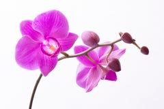 Härliga purpurfärgade Phalaenopsisorkidéblommor som isoleras på vit bakgrund arkivbilder