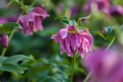 Härliga purpurfärgade rosa färger med dubbla blommor för burgundy åder av lenten rosElly Helleborus orientalis som blommar under  royaltyfri bild