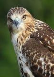Härliga Röd-knuffade Hawk Posing arkivfoton